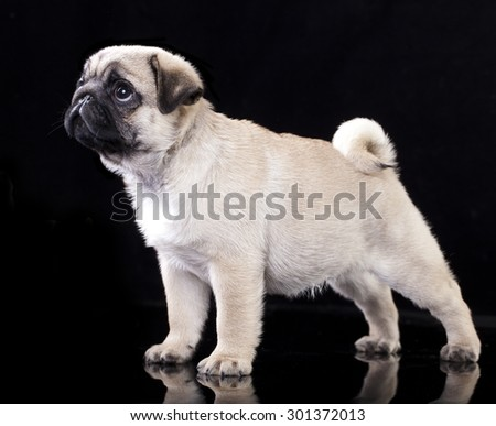 Pug puppy standing - stock photo