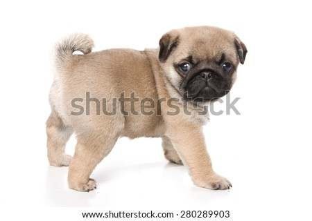 Pug puppy standing and looking at the camera (isolated on white) - stock photo