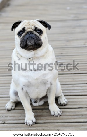 Pug sitting in front of blure background outdoors - stock photo