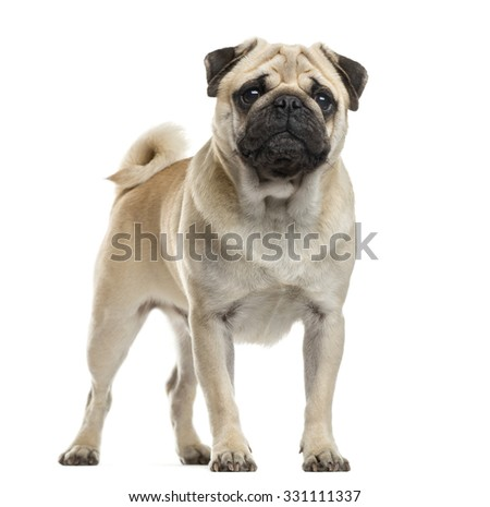 Pug standing in front of a white background - stock photo
