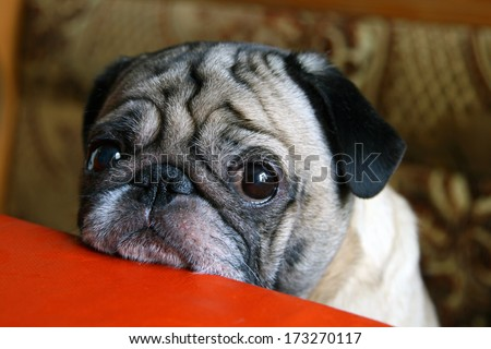 pug with sad eyes sitting at the table - stock photo