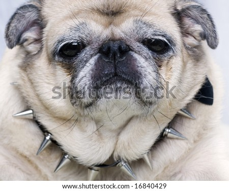 Pug with stern look - stock photo
