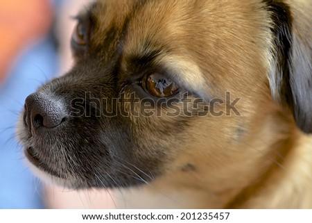 Puggle, a great mix between a beagle and a pug - stock photo