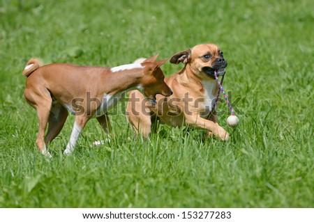 Puggle Dog Designer Dog Mops and Beagle plays with Basenji Dog  - stock photo