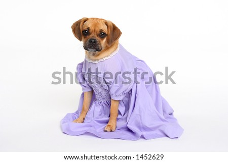 puggle puppy in lavender dress looking at camera - stock photo