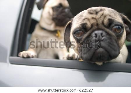 pugs - stock photo