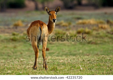 Puku antelope female winking, Botswana - stock photo