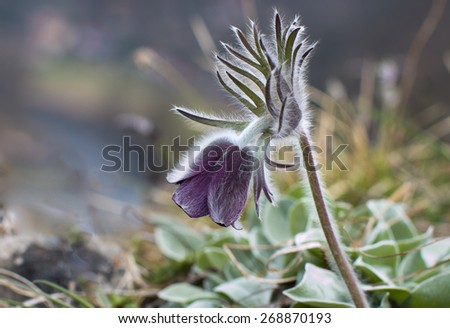 Pulsatilla pratensis Pasque beautiful spring flowers protected and rare - stock photo