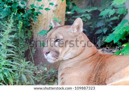 Puma chilling in the summer time - stock photo