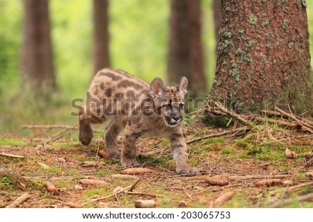 Puma concolor, kitten,  called mountain lion in forest - stock photo