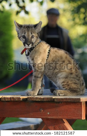 Puma Cub on leash - sitting on a table with an old boy in the background - stock photo