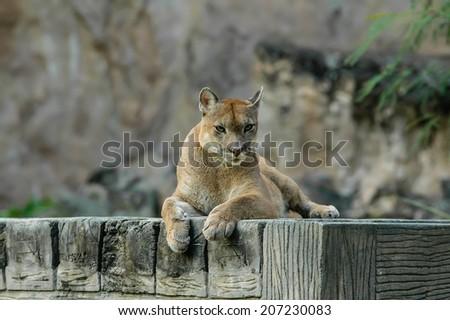 Puma in Chiangmai Night Safari of Thailand - stock photo