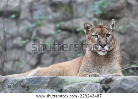 Puma Licking Lips - stock photo