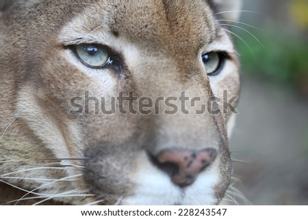 Puma Posing While Resting - stock photo