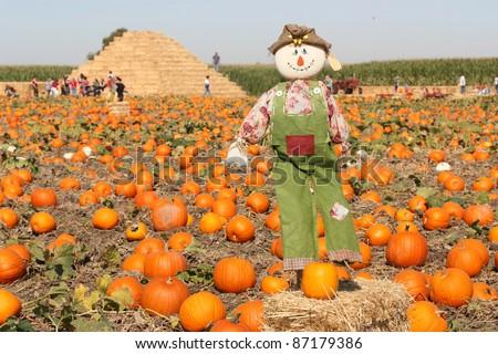 Pumpkin field for Halloween - stock photo