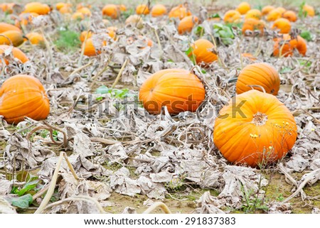 Pumpkin field with different types of pumpkin on autumn day. Huge orange vegetables on a farm. Thanksgiving or halloween holiday, pumpkin patch. - stock photo