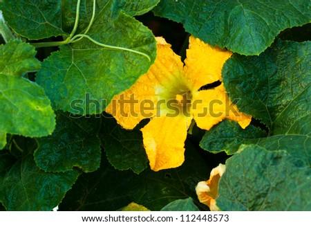 pumpkin flower in green leaf - stock photo