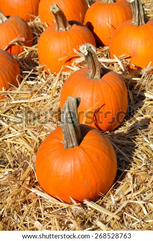Pumpkin nice round ripe fruit in autumn. - stock photo