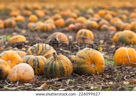 Pumpkin patch in a field of straw. Background for fall, autumn, Halloween, Thanksgiving, seasonal display.  - stock photo