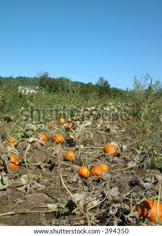 pumpkin picking - stock photo
