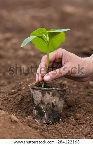 pumpkin seedling ready to planting - stock photo