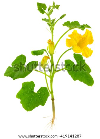 Pumpkin, the entire plant with root and flowers - stock photo