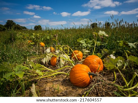 Pumpkins in pumpkin patch against a vivid blue sky in rural Pennsylvania. - stock photo