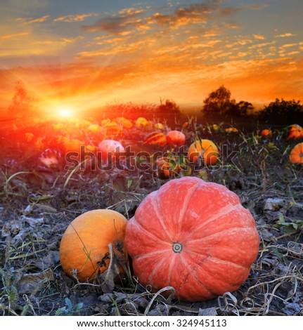 pumpkins on agricultural field against sunset sky - stock photo