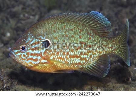 Pumpkinseed sunfish (Leppomis gibbosus) swimming in european freshwater lake - stock photo