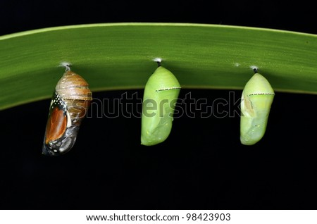 pupa of Plain Tiger Butterfly - stock photo