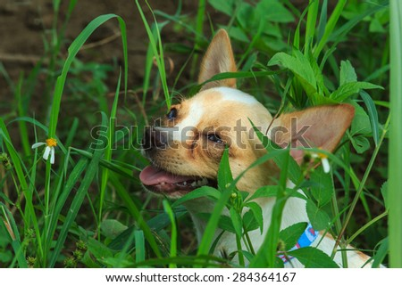 Puppies-Chihuahua - stock photo