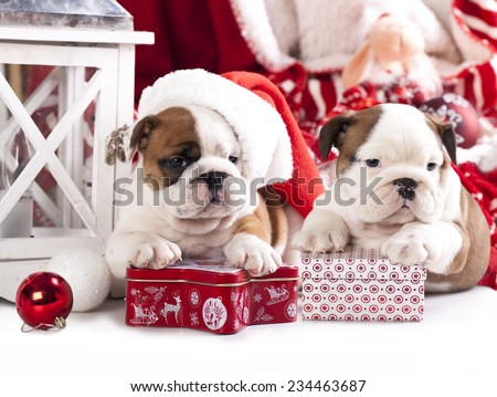 puppies christmas english bulldog - stock photo