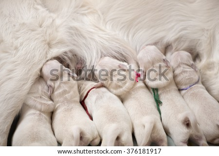 puppies drinking milk from mother - stock photo