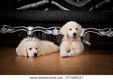 puppies labrador retriever, yellow and chocolate, heat, heater - stock photo