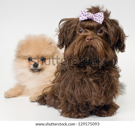 Puppies of a spitz-dog and color lap dog in studio - stock photo