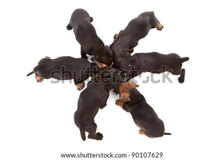 Puppies of dachshund around bowl with milk. Isolated on white - stock photo