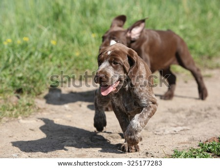 Puppies of German Shorthaired Pointer in nature - stock photo