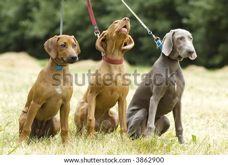 Puppies of hunting breeds (expression) - stock photo