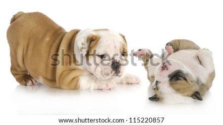 puppies playing - two english bulldog puppies playing isolated on white background - stock photo