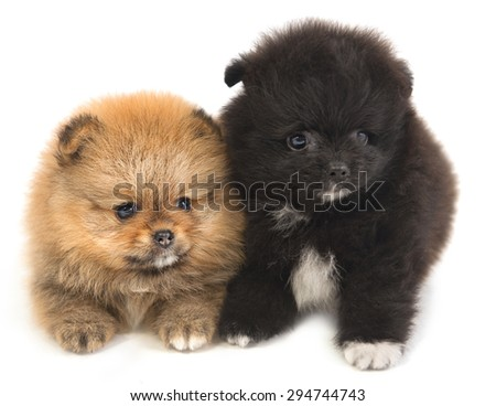 Puppies Pomeranian lying on a white surface - stock photo