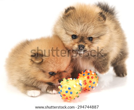 Puppies Pomeranian with a rubber toy - stock photo