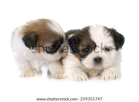 puppies shih tzu in front of white background - stock photo