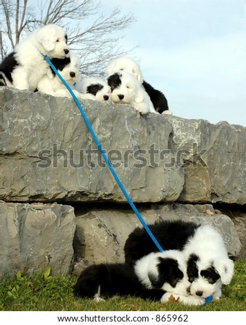 puppies sitting on wall at the end of leash two more puppies - stock photo