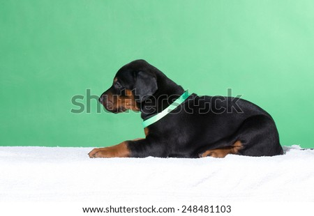 Puppu in green belt lying down - stock photo