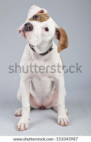 Puppy american bulldog white with red spots isolated against grey background. Studio portrait. - stock photo