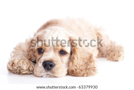 Puppy American Cocker Spaniel Breed - stock photo