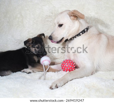 Puppy and dog playing on white fur sofa - stock photo