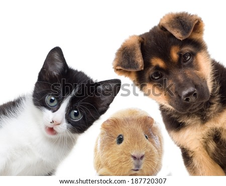 Puppy and kitten and guinea pig  - stock photo