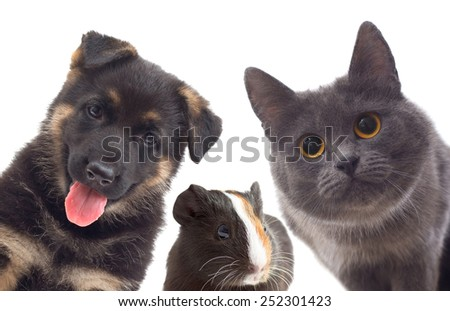 Puppy and kitten and guinea pig; set pets - stock photo