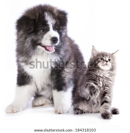 puppy and kitten breeds Maine Coon - stock photo